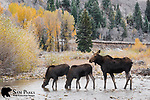 Cow moose and twin calves drinking. Grand Teton National Park, Wyoming.