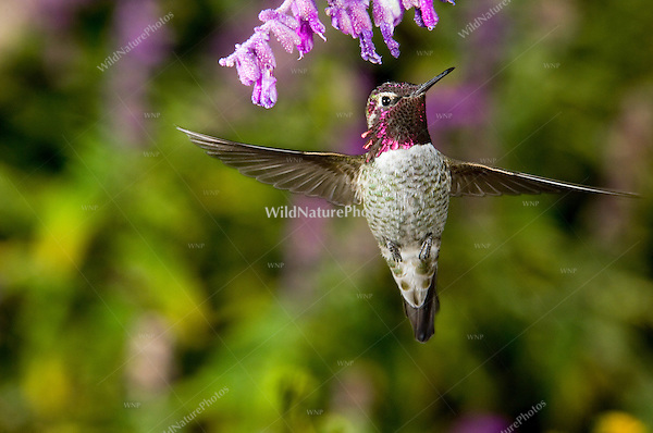 Anna's Hummingbird, Calypte anna, male, hovering at a sage blossom