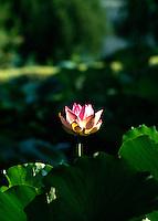 Indien, Udaipur (Rajasthan), Lotos Im Saheliyon ki Bari (Garten)