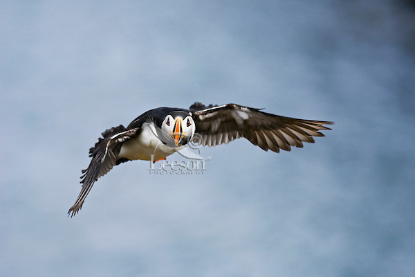 Atlantic Puffin (Fratercula arctica) adult in breeding plumage in flight, July, along the eastern coast of Newfoundland, Newfoundland and Labrador, Canada.