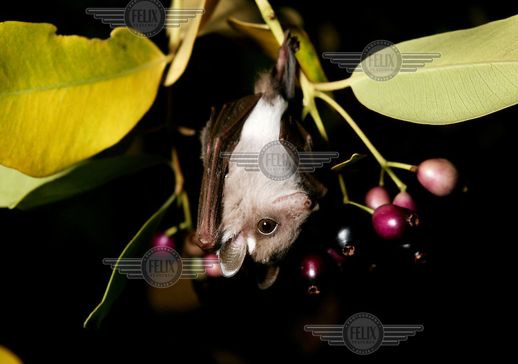 An epauletted fruit bat sits in a fruit tree in Kasanka National Park. Millions of straw-coloured fruit bats arrive every October in Kasanka National Park, where they feed on the fruit of the mushitu swamp forest before moving on in December.