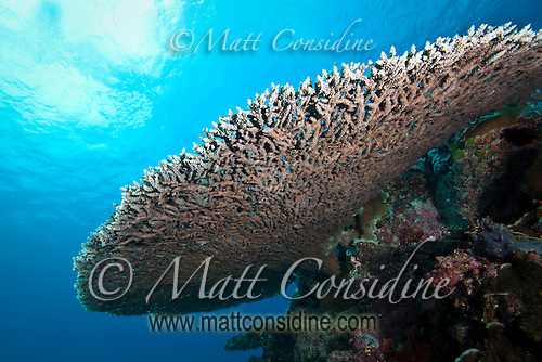 Looking up it is possible to see the blue of the sky through the interconnected branches of the coral, Palau Micronesia. (Photo by Matt Considine - Images of Asia Collection) (Matt Considine)