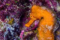 Longsnout seahorse, Hippocampus reidi, Bonaire, Netherland Antilles, Caribbean Sea, Atlantic Ocean