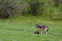 Wolf with prey (beaver)