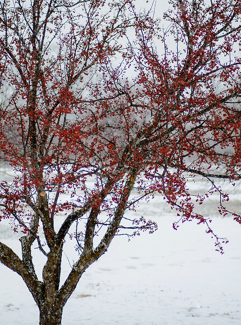 A Crabapple tree still hold fruit in winter during a snow storm, the fruit is a prime winter feed for birds, Morton Arboretum, DuPage County, Illinois