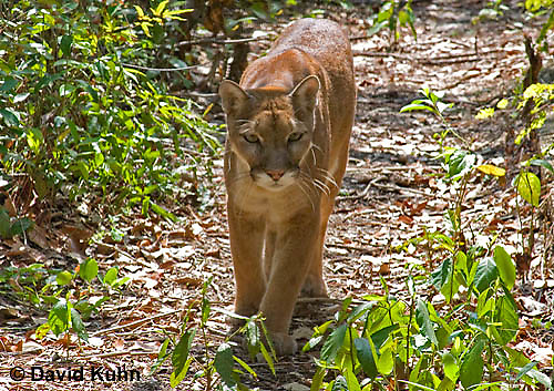 0525-1102  Costa Rican Cougar (Puma), Belize, Puma concolor costaricensis  © David Kuhn/Dwight Kuhn Photography