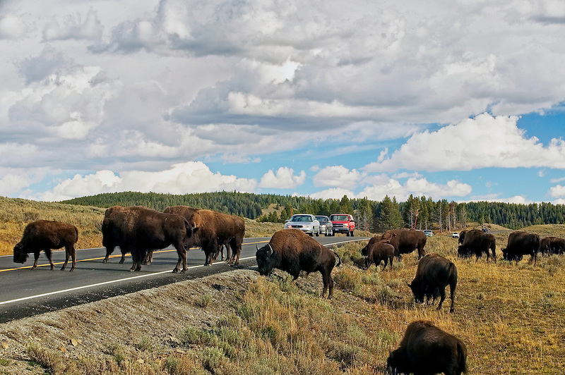 Buffalo and clouds with cars. Yellowstone National Park, Wyoming