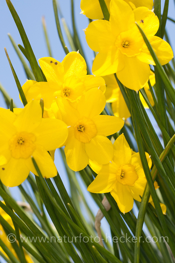 Echte Jonquille, Narzisse, Osterglocke, Narcissus jonquilla,Jonquil, Rush daffodil, Rush-daffodil, jonquille
