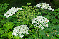 Cow Parsnip in Olympic National Park, Washington