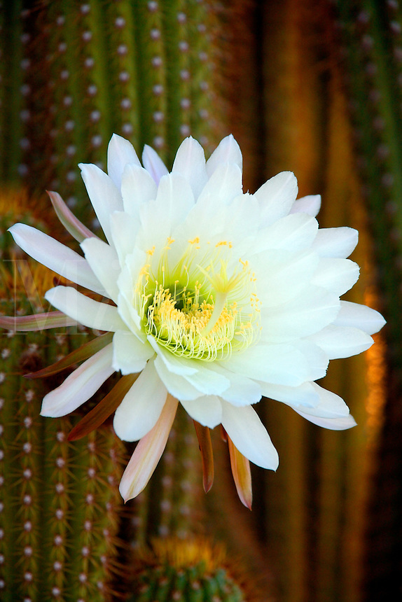 Night Blooming Cactus.  This cactus blooms at night and the flower lasts only one day. Pioneertown, Mojave Desert, California.