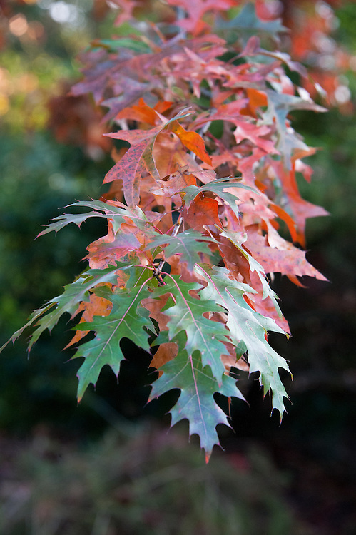 Pin oak (Quercus palustris), early November.