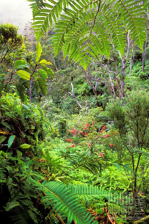 Kolii (Trematolobelia kauaiensis) in pristine native rainforest along Pihea Trail, near Alakai Swamp Trail. A lobelioid endemic to Kaua`i.
