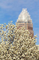A Bradford pear tree blooms in early 2010 in downtown Charlotte, making a striking foreground to the Bank of America Tower. Photo by Charlotte, North Carolina photographer Patrick Schneider.