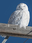 Snowy owl (Nyctea scandiaca), Canada