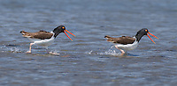 American Oystercatchers, chasing each other, Stone Harbor, New Jersey