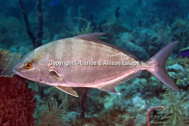 Seriola rivoliana, Almaco jack, Florida Keys