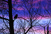 A Great Horned Owl poses for a nice silhouette against a dramatic sunset in Colorado.
