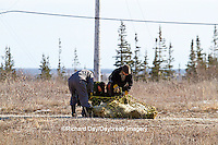 01874-130.09 Biologist preparing Polar Bear (Ursus maritimus) for a airlift from the Polar Bear Holding Facility, Churchill, MB