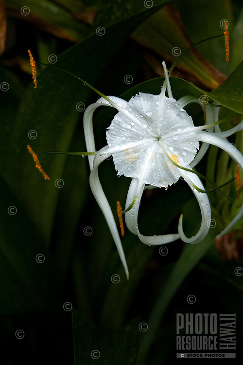 Close-up of white star shaped flower, with dark green leaf background