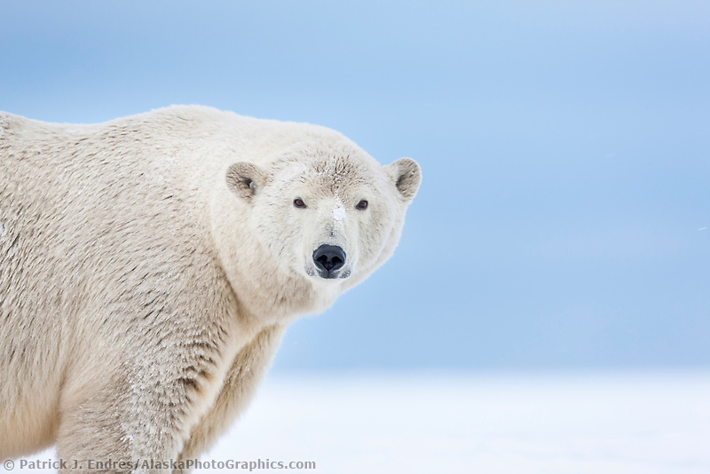 Portrait of an adult female polar bear in the snow on an island in the Beaufort Sea on Alaska's arctic coast.