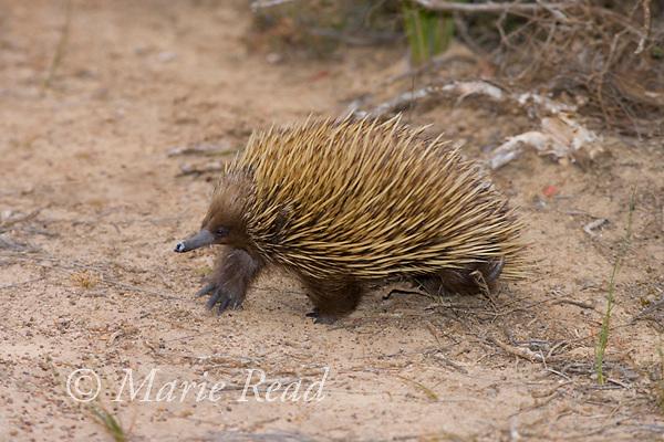 Short-beaked Echidna (Tachyglossus aculeatus), walking, Kangaroo Island, Australia.