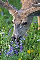 Buck mule deer graze on lupin in Yellowstone National Park