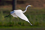 USA; California; Lakeside; San Diego:; Great Egret flying in Lakeside