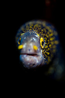 Snowflake moray eel, Tulamben, Bali, july 2011