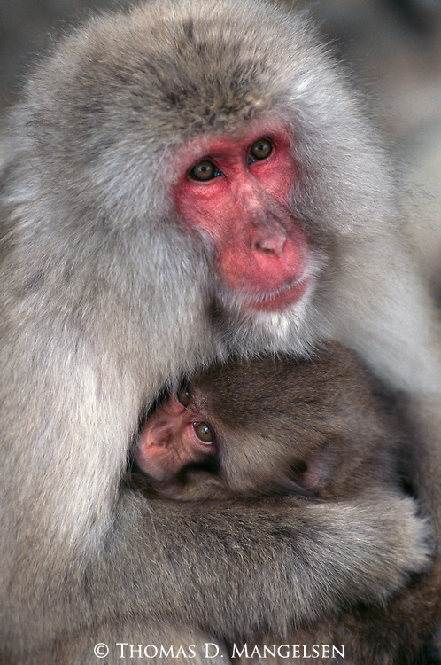 A mother Japanese macaque or snow monkey holds her baby in Jigokudani National Park, Japan.