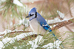 Blue jay perched on the snow-covered branch of a pine tree.