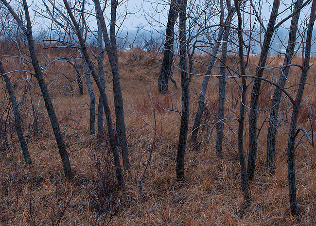 A copse of Cottonwood trees are surrounded by dune stabalizing grasses on a gray November day, Warren Dunes State Park, Berrien County, Michigan