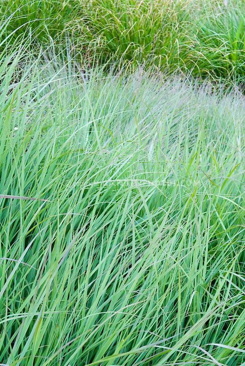 Andropogon gerardii 'Lord Snowdon' (Big Bluestem grass)