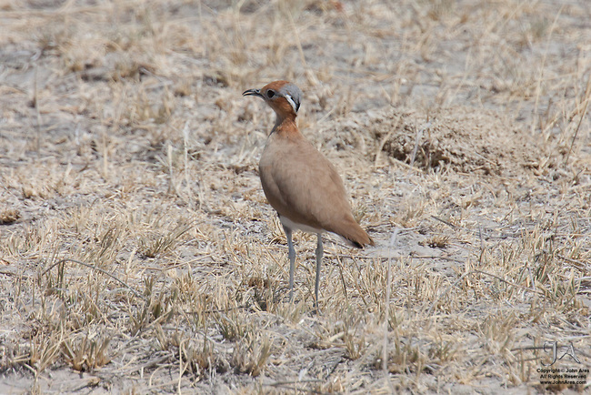 Burchell's courser in Etosha National Park, Namibia.