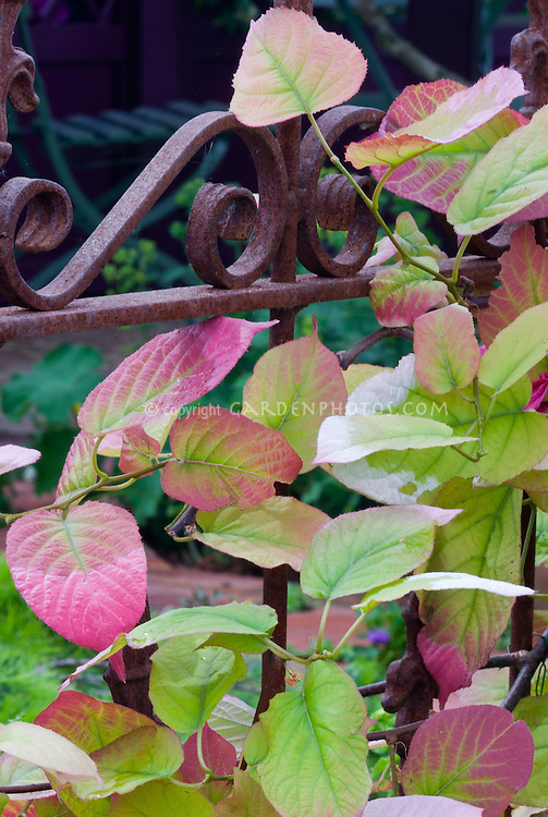 Variegated Kiwi Vine Actinidia kolomikta climbing supported on rusted yet pretty scrolled iron fence gate