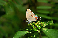 345100005 a wild gray hairstreak strymon melinus perches on a small plant in southeast metropolitan park in austin travis county texas