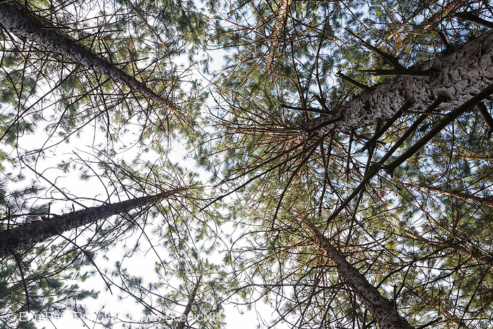 Canopy of Red Pine Forest ( Pinus resinosa ) during the summer months in Albany, New Hampshire USA