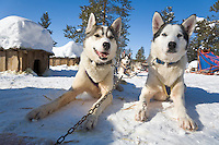 Sweden, SWE, Kiruna, 2008Mar24: Siberian huskies pausing during a dogsledge trip.