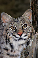 611009040 portrait of a wildlife rescue bobcat felis rufus by its enclosure at a wildlife rescue facility