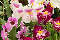 Miltoniopsis mixed display of orchids, dark pink, white, ,maroon, Miltonia waterfall type orchid hybrid with striking pink, red, yellow patterns