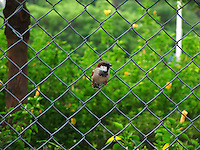 Cute House-sparrow sitting in the center of iron wire fence stock image.<br />