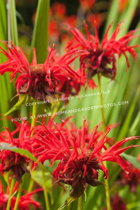 red blooms of bee balm