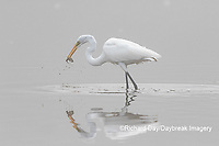 00688-02510 Great Egret (Ardea alba) feeding in wetland in fog, Marion Co., IL