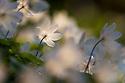 Wood Anemones {Anemone nemorosa} growing on woodland floor. Peak District National Park, Derbyshire, UK. May.