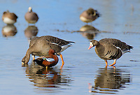 581370001 a wild male  cinnamon teal anas cyanoptera stands in a shallow pond with a flock of greater white-fronted geese anser albifrons at colusa national wildlife refuge califonai