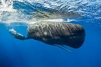 sperm whale, Physeter macrocephalus, mother and calf, Dominica, Caribbean Sea, Atlantic Ocean
