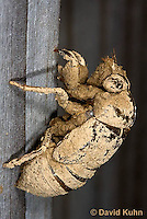 0901-0801  Dog-day Cicada Nymph Climbing into Position to Emerge into Adult, Tibicen spp.  © David Kuhn/Dwight Kuhn Photography.
