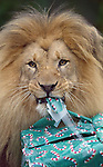 """Uton"" a male lion at the San Francisco zoo got into the holiday spirit as he unopened wrapped presents filled with toys and food for Christmas.   ."