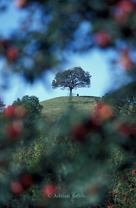 The tree  on top of Burrow Hill which is the other name for the  Cider Brandy Company in Kingsbury Episcopi. .Julian Temperley who owns the company uses Kingston Black apples for most of his cider production but mixes in other varieties for flavour.