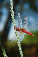 Red dragonfly (Trithemis kirbyi) on plant stem