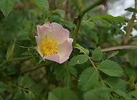 Rosa canina, dog rose in a farm hedge, Staffordshire.